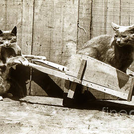 Fun with cats Henry King Nourse Photographer circa 1900 by California Views Archives Mr Pat Hathaway Archives