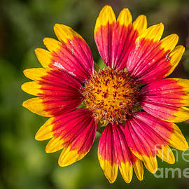 Gaillardia shows off by Bernd Laeschke