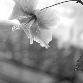 Connie Fox - Garden Bench Bokeh With Hibiscus B W
