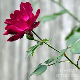 Connie Fox - Garden Lines Luminous Pink Rose