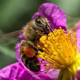 Gathering pollen by Kathleen Bishop