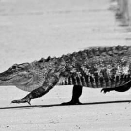 Gator Walking by Cynthia Guinn