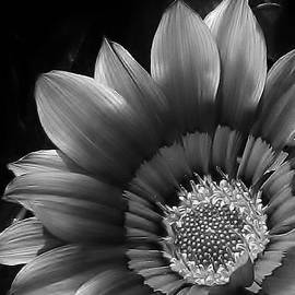 Gazania in Black and White by Bruce Bley