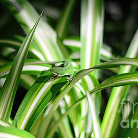 Gecko Camouflaged on Spider Plant