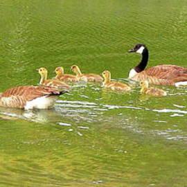 Canadian Geese Family San Francisco Bay by John King I I I