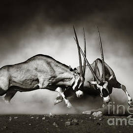 Gemsbok fight by Johan Swanepoel