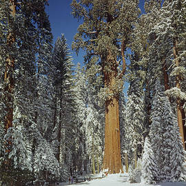 106859-general Sherman Tree In Winter 1968  by Ed  Cooper Photography