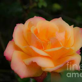 Donna Brown - Gentle Soft Rose