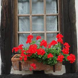 Geraniums in Timber Window by Barbie Corbett-Newmin