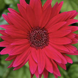 Gerber Daisy in Red by Susan Buscho