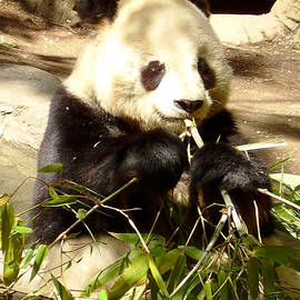 Jessica Foster - Giant Panda Eating Bamboo