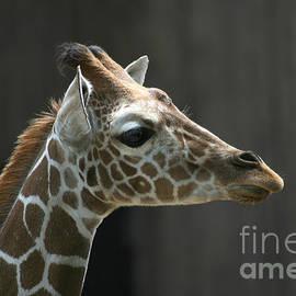 Gary Gingrich Galleries - Giraffe-7467