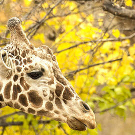 Giraffe and leaves by Ruth Jolly