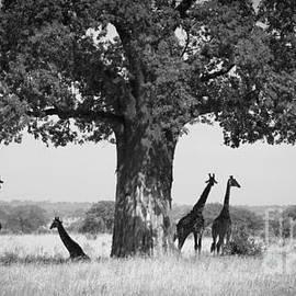 Giraffes and Baobab Tree by Chris Scroggins