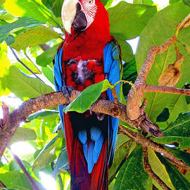 Gizmo the Macaw