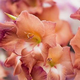 Maj Seda - Gladiolus