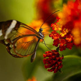 Glasswing Butterfly - Monteverde Costa Rica by Carver Mostardi