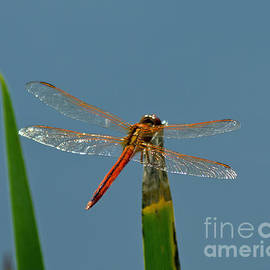 Glistening Dragonfly by Stephen Whalen