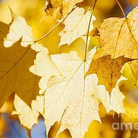 Yellow maple leaves glow by Elena Elisseeva