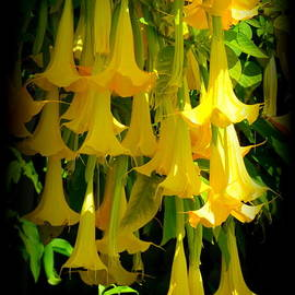 Glowing Golden Angel Trumpets by Carla Parris