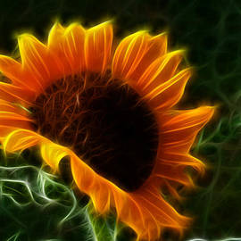 Shane Bechler - Glowing Sunflower