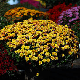 Golden Blooms Among The Mums by Bill Swartwout Fine Art Photography