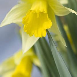 Anne Gilbert - Golden Daffodils