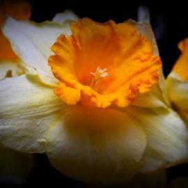Kay Novy - Golden Daffodils