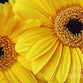 Golden Daisies by Dora Sofia Caputo Photographic Design and Fine Art