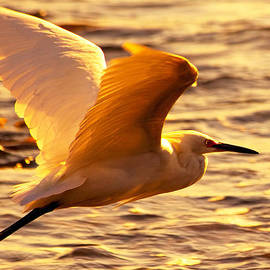 Golden Egret Bird Nature Fine Photography Yellow Orange Print  by Jerry Cowart