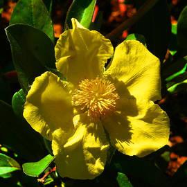 Golden Guinea Flower by Margaret Saheed