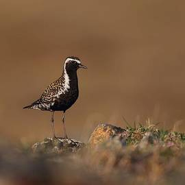 Daniel Behm - Golden Hour Plover