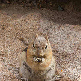 Golden Mantle Ground Squirrel Hidden Valley Rock Mountain Nation by Fred Stearns