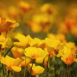 Golden Poppies Aglow by Saija  Lehtonen