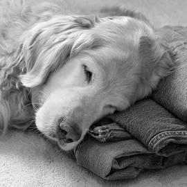 Jennie Marie Schell - Golden Retriever Dog on Forever on Blue Jeans Black and White