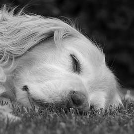 Jennie Marie Schell - Golden Retriever Dog Sweet Dreams Black and White