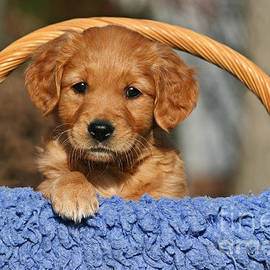 Golden Retriever Puppy In A Basket by Dog Photos