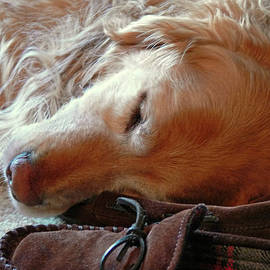 Golden Retriever Sleeping with Dad's Slippers by Jennie Marie Schell