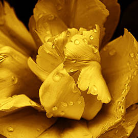 Golden Ruffled Parrot Tulip Flower by Jennie Marie Schell
