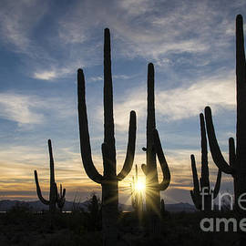 Sandra Bronstein - Golden Sunset - Saguaro National Park