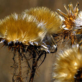 Golden Thistle by Bill Gallagher