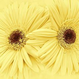 Golden Yellow Gerber Daisy Flowers by Jennie Marie Schell