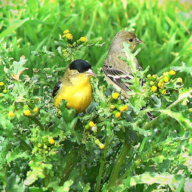 Pamela Patch - Goldfinch Mated Pair