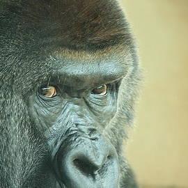 Adnan Elkamash - Gorilla
