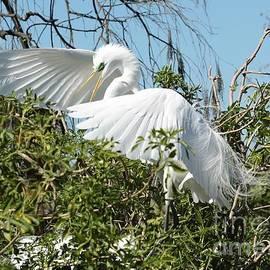 Graceful Landing Great Egret by Carol Groenen