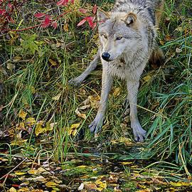 Eric Albright - Gray Wolf Drinking