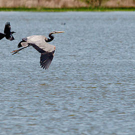 Roy Williams - Great Blue Chased By A Grackle