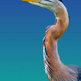 Brian Stevens - Great Blue Heron 2