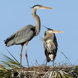 Dawn Currie - Great Blue Heron Couple II