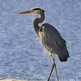 Great Blue Heron Stance by Nava Thompson